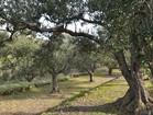 Take a walk through the hundreds of years old olive groves - villa Sunset bay, Gradina bay