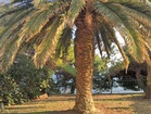 Big palm tree - 4 bedroom beachfront house in Orebic, Croatia